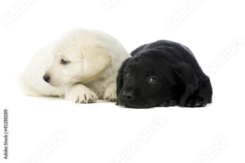 Spoed Foto op Canvas Hond Golden and black Labrador Puppies