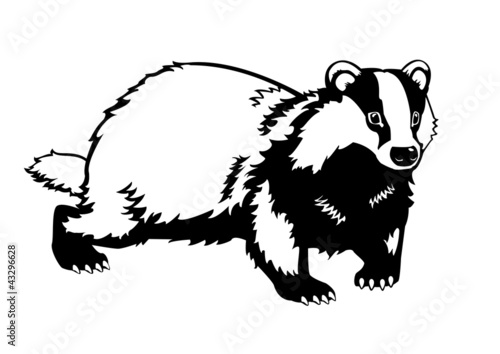 Obraz na plátne Eurasian badger black and white