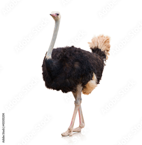 La pose en embrasure Autruche Portrait Of A Ostrich