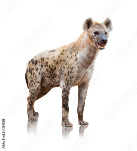 Spoed Foto op Canvas Hyena Portrait Of A Hyena