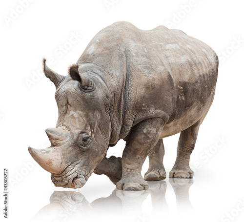 La pose en embrasure Rhino Portrait of a rhinoceros