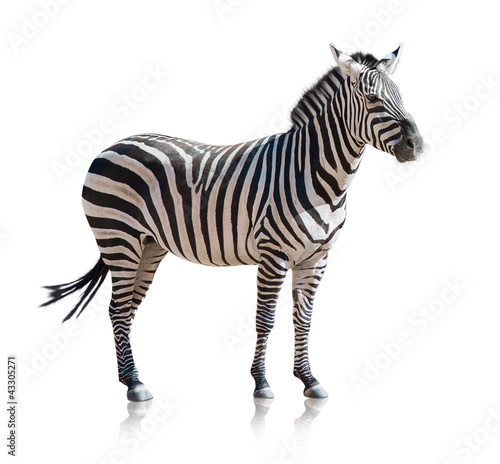 Papiers peints Zebra Portrait Of A Zebra