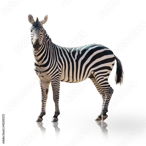 Canvas Prints Zebra Portrait Of A Zebra