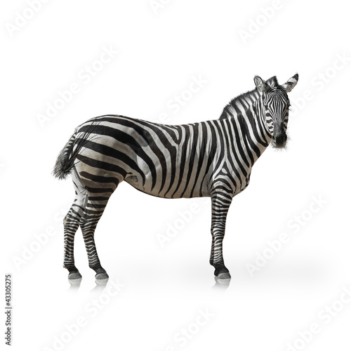 Wall Murals Zebra Portrait Of A Zebra