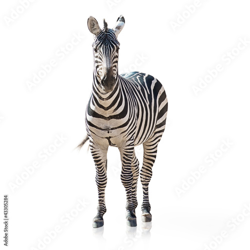Montage in der Fensternische Zebra Portrait Of A Zebra