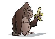 Silverback Gorilla Eat Banana