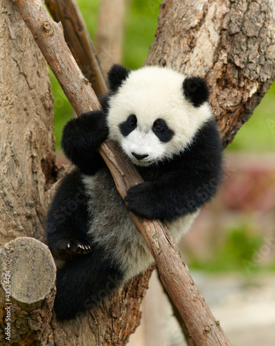 Stickers pour porte Panda Giant panda baby over the tree