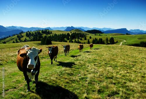 Cadres-photo bureau Vache vaches en troupeau