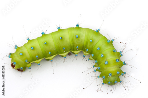 Pinturas sobre lienzo  Huge emerald green caterpillar