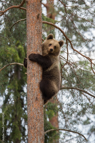 Obraz na plátně Brown bear climbing tree in Tiaga forest