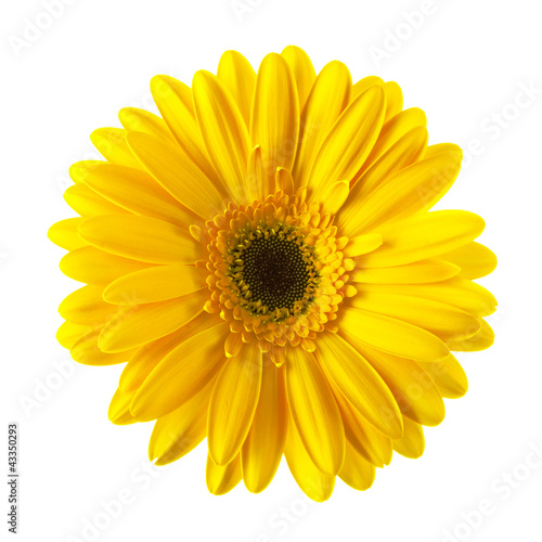 Aluminium Prints Gerbera Yellow daisy flower isolated