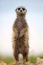 Wet Meerkat Stands On A Rock Against The Blue Sky