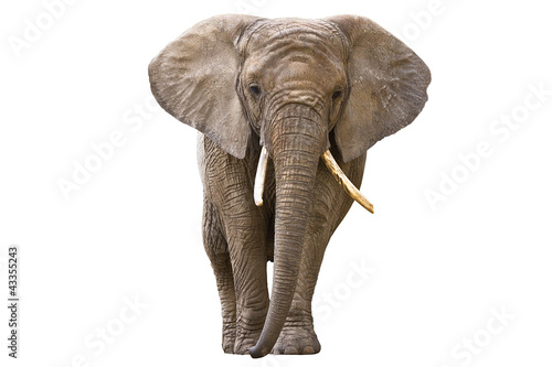 Stickers pour porte Elephant Elephant isolated on white