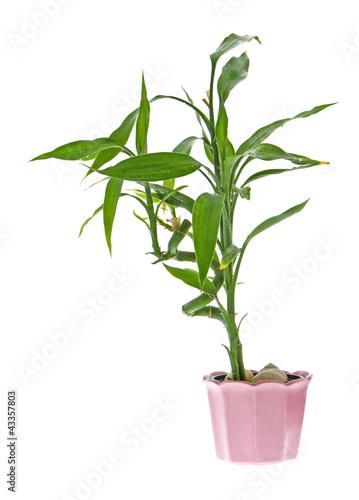 Bambus Im Topf Buy This Stock Photo And Explore Similar Images At