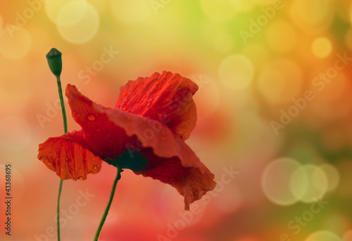Beautiful background with poppy and colored bokeh