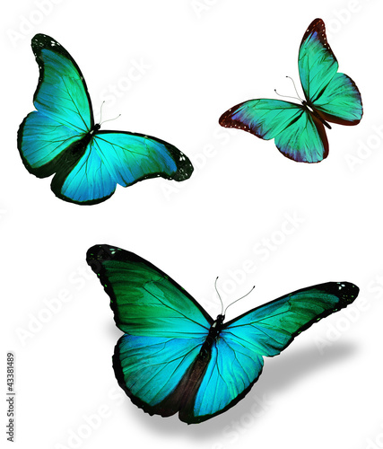 Fotografie, Obraz  Three turquoise butterfly morpho, isolated on white background