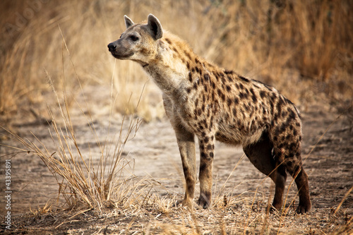 Canvas-taulu Spotted hyena