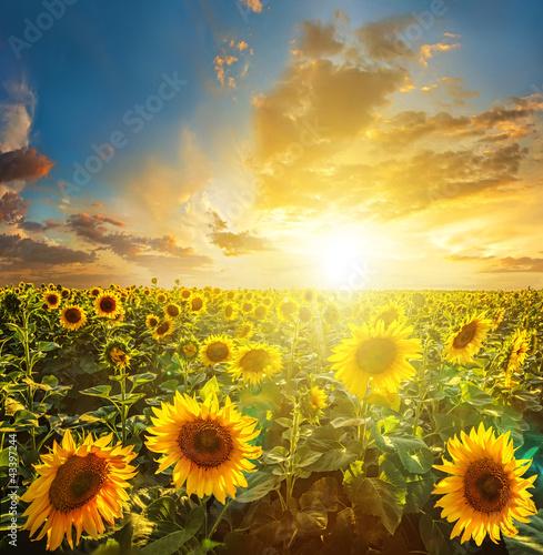 Foto-Schiebegardine ohne Schienensystem - Summer landscape: beauty sunset over sunflowers field (von Aleks_ei)