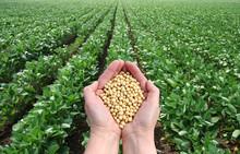 Soybean In Hands With Soy Fiel...