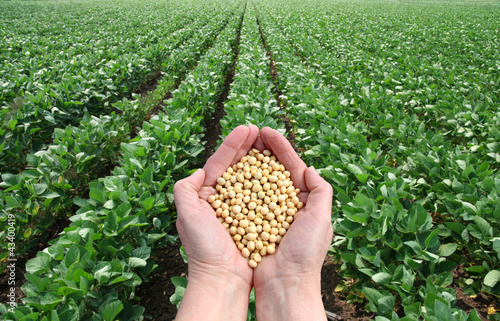 Photo  Soybean in hands with soy field in background