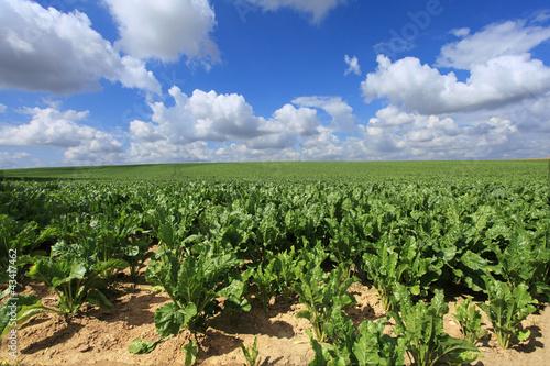 Foto op Plexiglas Zuid Afrika sugar beet fields in the summer sun