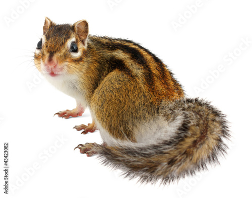 Papiers peints Squirrel Chipmunk on white