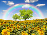 Fototapeta Tęcza - rainbow above the sunflower field with tree