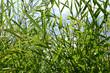 Bambou Fargésia Nitida
