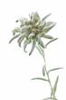 Alpen-Edelweiß (Leontopodium alpinum)