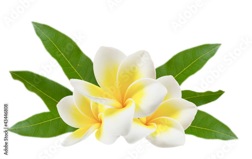 Photo Stands Plumeria plumeria flowers