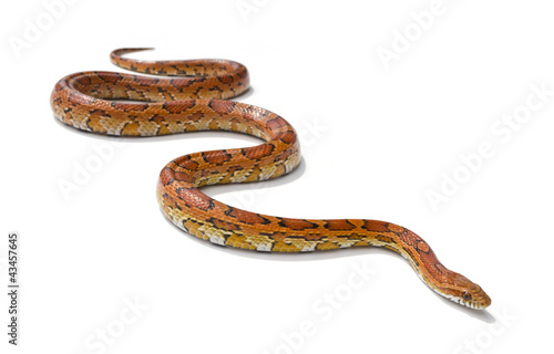 Fotografía  snake on white background