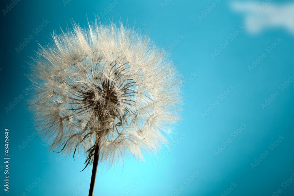 Fototapety, obrazy: Dandelion Isolated