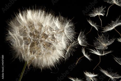 Fototapety, obrazy: Dandelion Loosing Seeds in the Wind