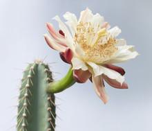 Riesen-Kaktusblüte