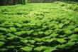 растение полотно