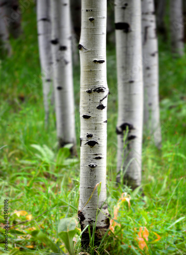 Deurstickers Berkbosje Aspen Birch Trees in Summer