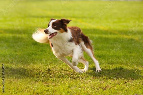 Fotografia Adorable border collie