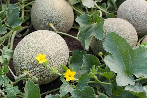 Fotomural Melons