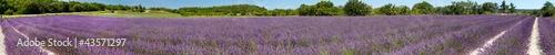 Foto auf Leinwand Lavendel Panorama d'un champ de lavande