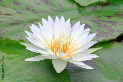 Foto op Canvas Lotusbloem lotus