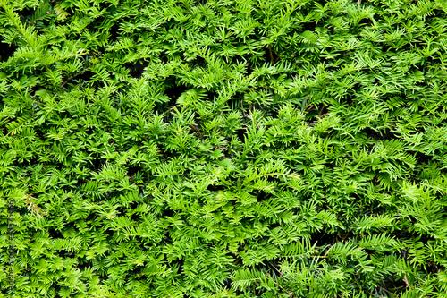 Fotografie, Obraz Yew bush close up background