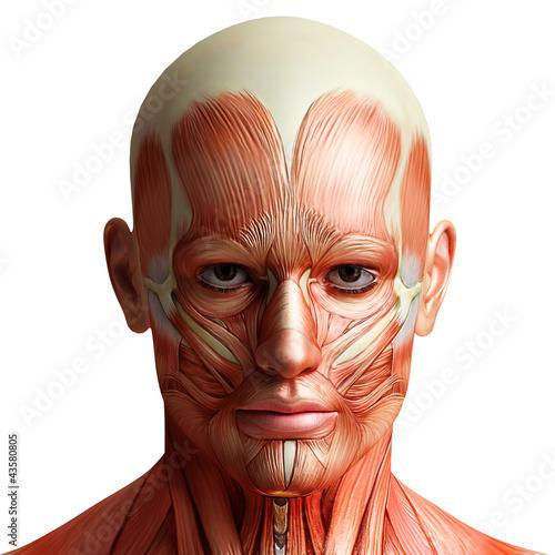 Plakat na zamówienie anatomy head