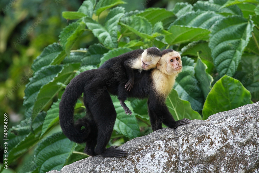 Photo  Adult Capuchin Monkey Carrying Baby on its Back