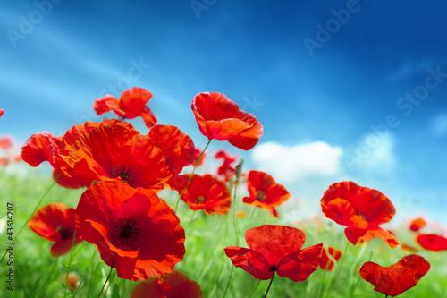 Fototapeta Poppy flowers on field obraz