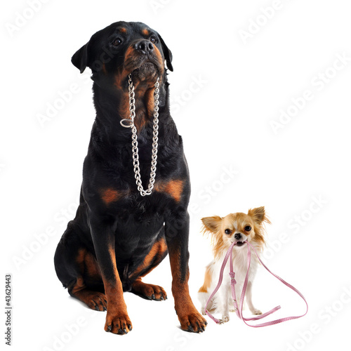 dogs with collar and leash Canvas Print