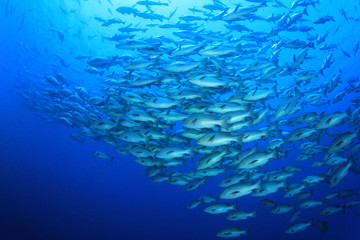 Huge school of Bohar Snapper fish gather to breed
