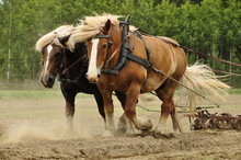 Working Horses On The Field