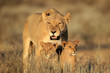 canvas print picture - Lioness with young cubs, Kalahari