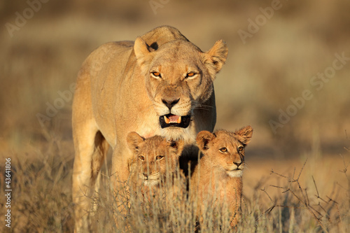 Photo Lioness with young cubs, Kalahari