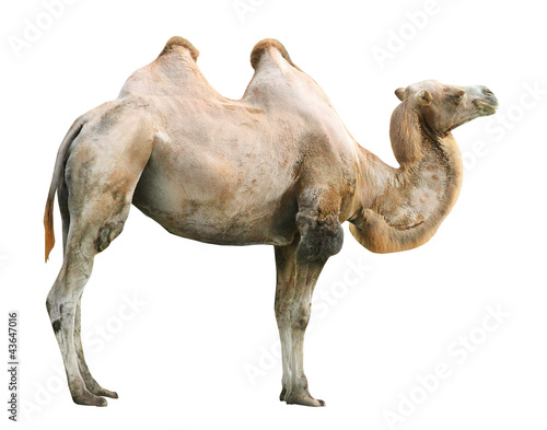 Deurstickers Kameel The Bactrian camel (Camelus bactrianus).